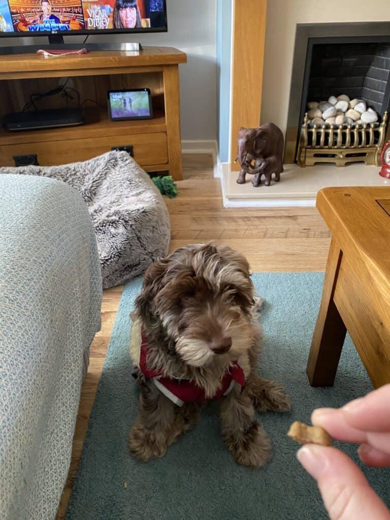 Luca waiting for his natural healthy dog food treats